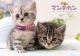 子猫のマンチカン カレンダー 2017
