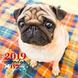 大判カレンダー パグ 2019